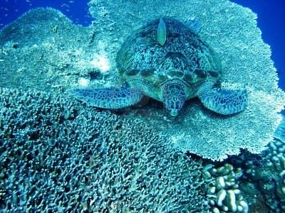 6412716-sea-turtle-resting-at-hard-coral-at-bunaken-manado-indonesia.jpg