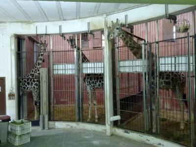 bcn.zoo.jirafas.jpg