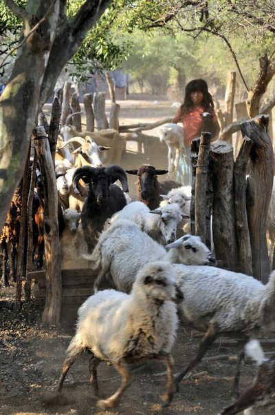 1argentina-gran-chaco-salta-zapota-indian-girl-of-wichi-people-herding-goats-FLK000301WestEnd61.jpg