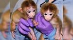 monitos-clonados.jpg