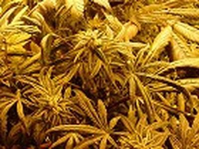 cannabispotdsm.jpg