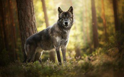 nature_wolf_forest_animals-1231605-544x340.jpg