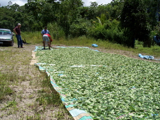 stopthedrugwar.org-coca-leaves-drying-by-highway.jpg