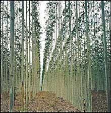 Fiebre de la forestación en Uruguay.JPG