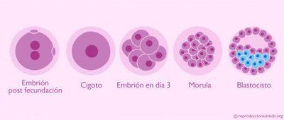 Evolución-del-embrión-desde-la-fecundación-520x221.jpg