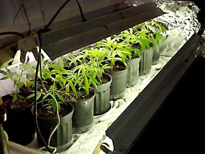 marijuana-grow.jpg