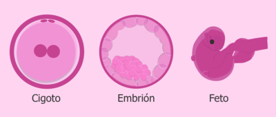 Evolución-de-los-embriones.jpg.png