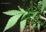 florcannabis.jpg